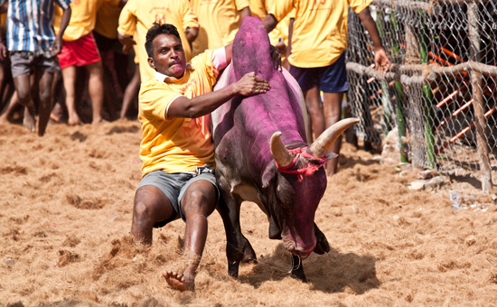 Jallikattu and the Pink Revolution