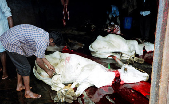 The Truth about Cow Slaughter in India