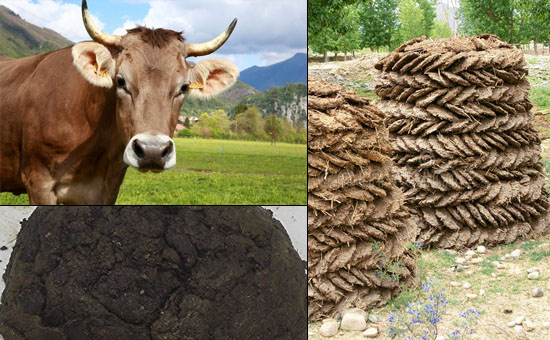 COW-DUNG AS MEDICINE