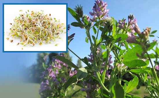 Alfalfa - A Great Herbal Tonic