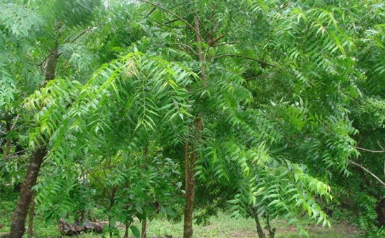 NEEM TREE is a Remedy for many ailments