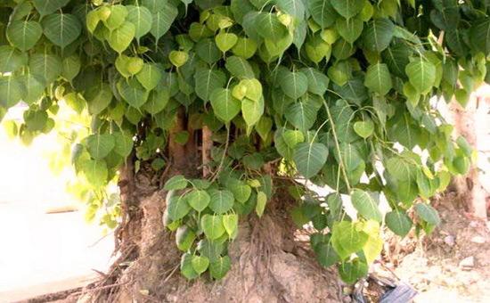 The PEEPAL Tree