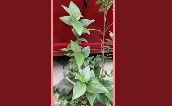 PARIJATAK - Auspicious herb in Ayurveda