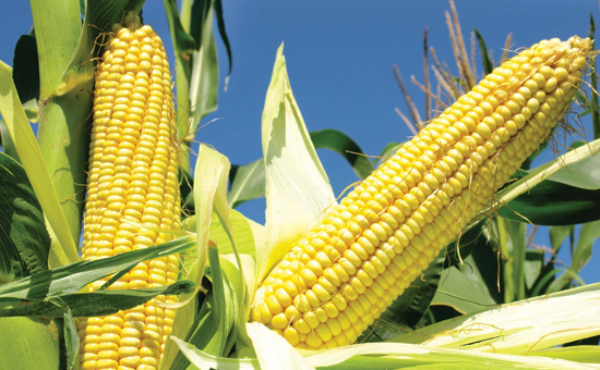 BENEFITS of Maize or CORN