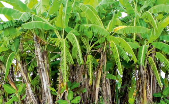 The benefits of Banana Tree