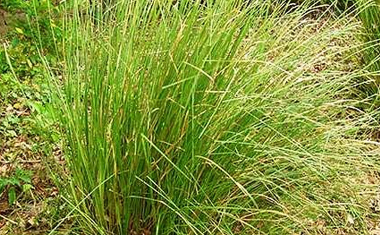 DHARBHA GRASS