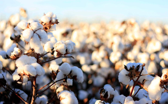 Killing with kindness-Cotton procurement