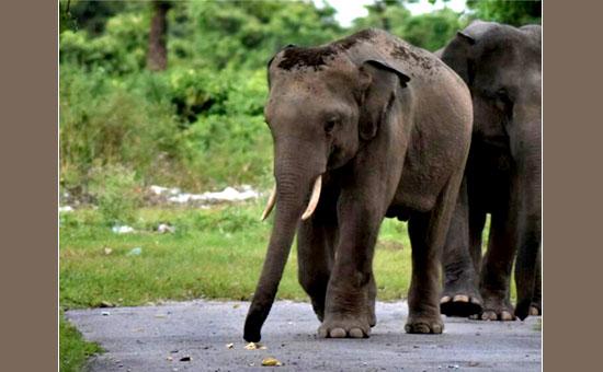 BINNAGURI -  Where Wild Elephants and Leopards roam free