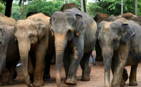 India is home to 25000 wild elephants - the largest Asian elephant population in the world