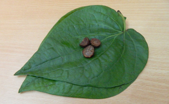 The World`s Most Romantic Leaf is Heart-Shaped