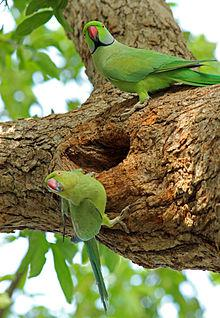 Parrots in a nest