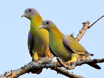 Green pigeon on a dumar tree