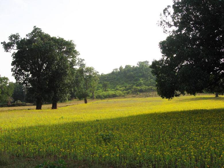 Jagdalpur -Mustard fields in Bastar.