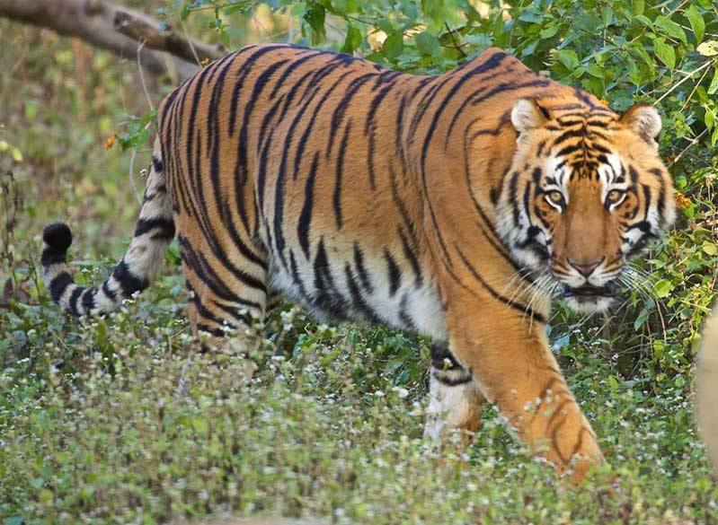 Tigers of Corbett