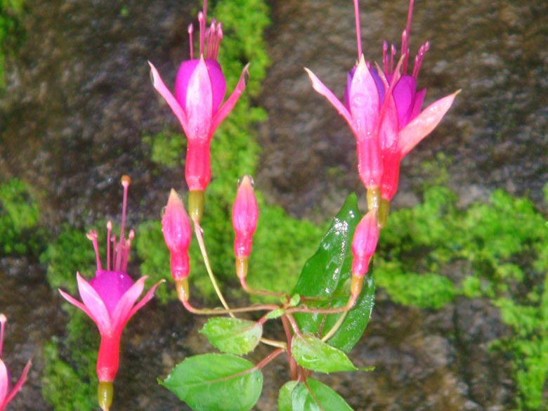 Rare Fuchsia flowers dangle from the moist rocky walls at Norbulingka.