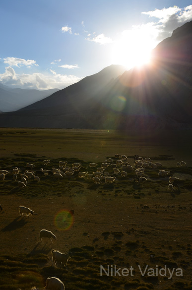 I just love this pic...sheep grazing by sunset.