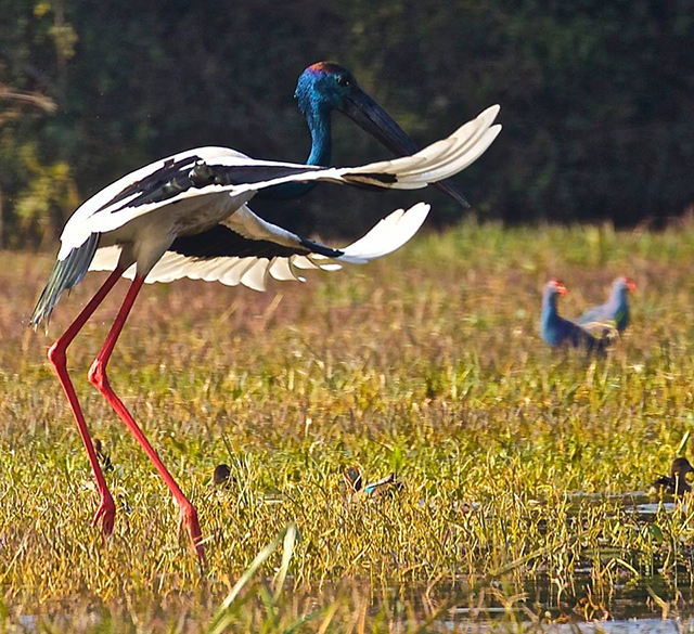 Another black necked stork.