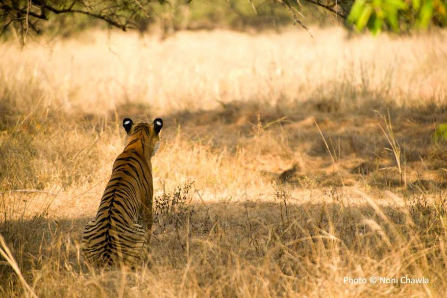 "P2, the tigress who killed the monkey the next day. — at Tadoba - Andhari Tiger Reserve. To read a Travelogue on visit to Tadoba <a href=""http://the-shooting-star.com/2013/12/17/call-of-the-wild-tadoba-tiger-reserve/"" target=""_blank"">Click here</a>"