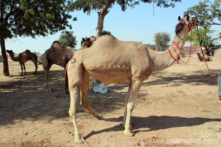 This is what a camel looks like after the hair cut. There was one section where really weak camels were being sold, looked as if they were sold more for the skin.