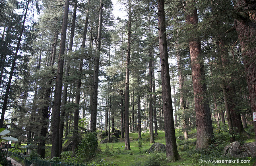 Giant deodar trees close to Hidimba temple. In many places in Manali saw large patches of giant deodar trees, think they are maintained by the forest department. It is lovely.