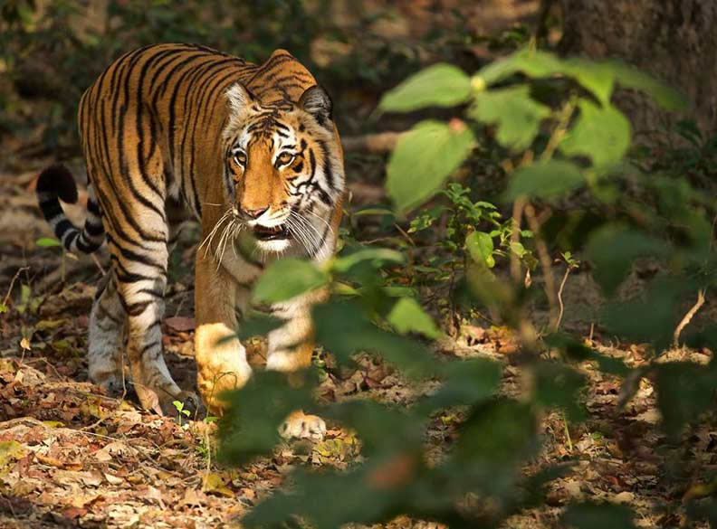 "Another super pic. See pics of Kanha National Park <a href=""http://www.esamskriti.com/photo-detail/Tigers-of-Kanha-National-Park.aspx"" target=""_blank"">Click here</a>"