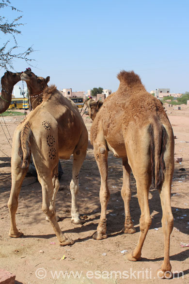 The owners of these camels wanted me to pay them for clicking this pic. I flatly refused.