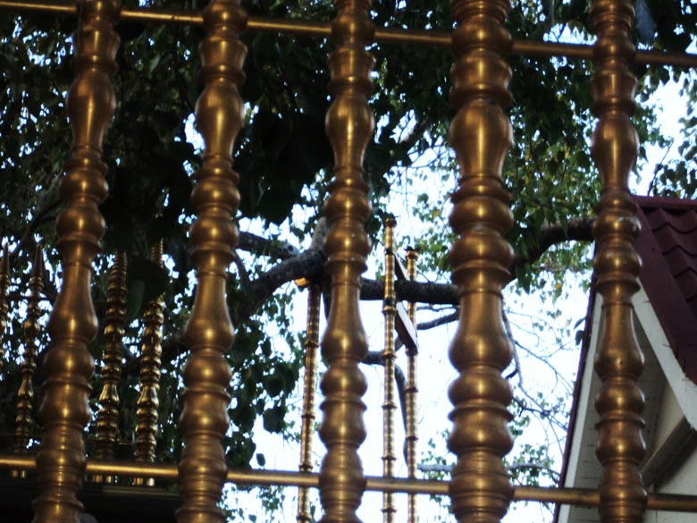 A close up of the Bodhi tree. The tree has been guarded for over 2,000 years and has now sprouted many new branches. The Bodhi tree is encircled by a brass railing and only