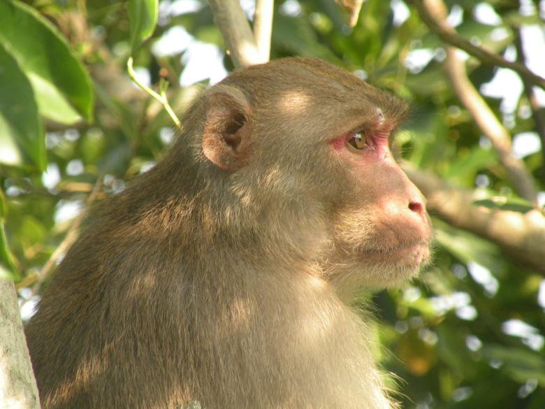A rhesus monkey.
