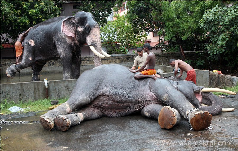 "I then moved to the hall at Paramekkavu Bagavathy Temple. In temple ground were numerous elephants, they were being given a bath. When the cleaner wants to get off the elephant he signals to elephant who puts has foot up to enable the cleaner to slip down. To know more about Elephants <a href=""http://thrissurpooramfestival.com/elephants.html"" target=""_blank"">Click here</a>"