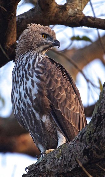 Hawk Eagle. See pics of Bharatpur Bird Sanctuary 