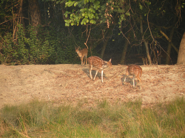 Chital after their fill of water.