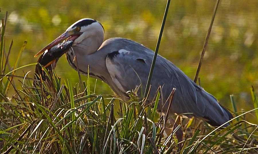 Grey heron with a catch ie fish. Captions by Editor. In case of any errors do write back.