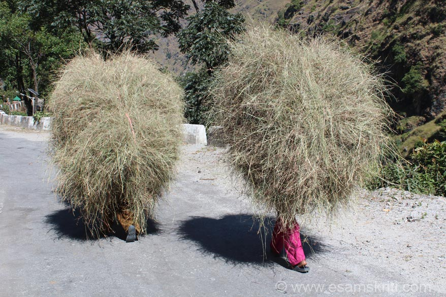 Two ladies carrying grass. Once loaded on to their backs the ladies walked quite effortlessly.