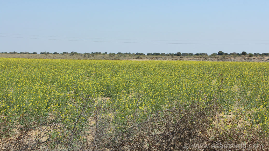 Whilst returning to Jaisalmer and close to where the Indira Gandhi Canal flows saw sarso (mustard) ka fields.  Loved the yellow colors more so in this terrain.
