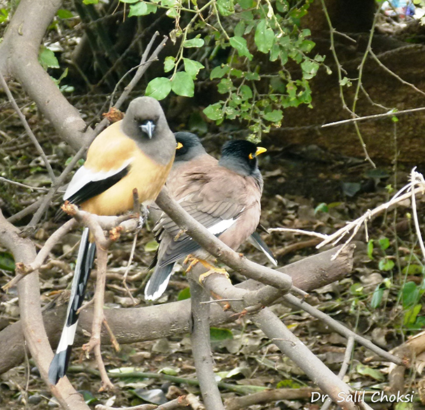 "You see Rufous Treepie with Bank Mynas. To see pics of Ranthambore Wildlife Sanctuary  <a href=""http://www.esamskriti.com/photo-detail/Ranthambore-Sanctuary.aspx"" target=""_blank"">Click here</a>"