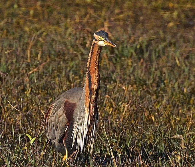 "Purple heron. To see pics of Jaipur City  <a href=""http://www.esamskriti.com/photo-detail/Jaipur-1.aspx"" target=""_blank"">Click here</a>"
