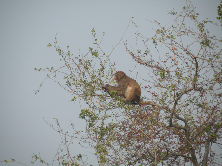 A rhesus monkey making a warning call and we thought his alarm might be caused by the proximity of a tiger.