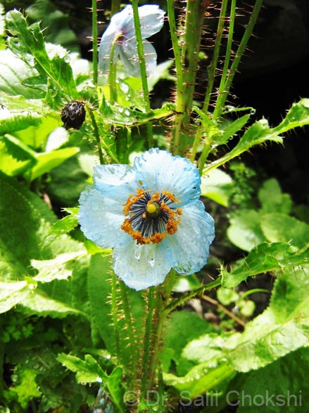 Meconopsis aculeata-Himalayan Blue Poppy.