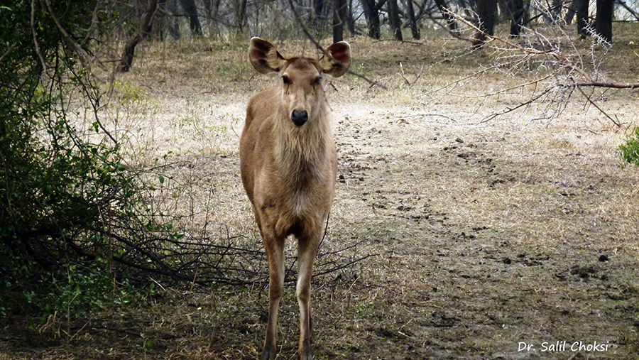 "You see Sambar deer. To see pics of Bird Watching Eagle Nest by Dr Choksi  <a href=""http://www.esamskriti.com/photo-detail/Bird-Watching-Eagle-Nest-W-L-S.aspx"" target=""_blank"">Click here</a>"
