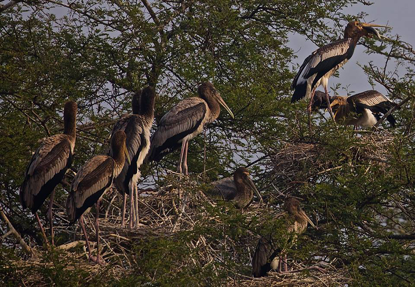 "Painted storks. To see pics of Ranthambore Wildlife Sanctuary  <a href=""http://www.esamskriti.com/photo-detail/Ranthambore-Sanctuary.aspx"" target=""_blank"">Click here</a>"