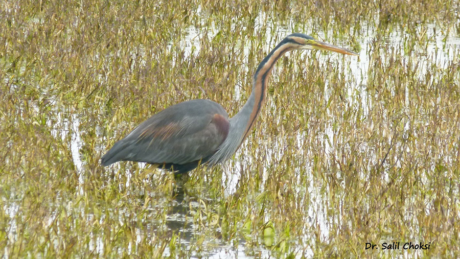 You see Purple Heron. To see pics of Turtuk by Dr Choksi 