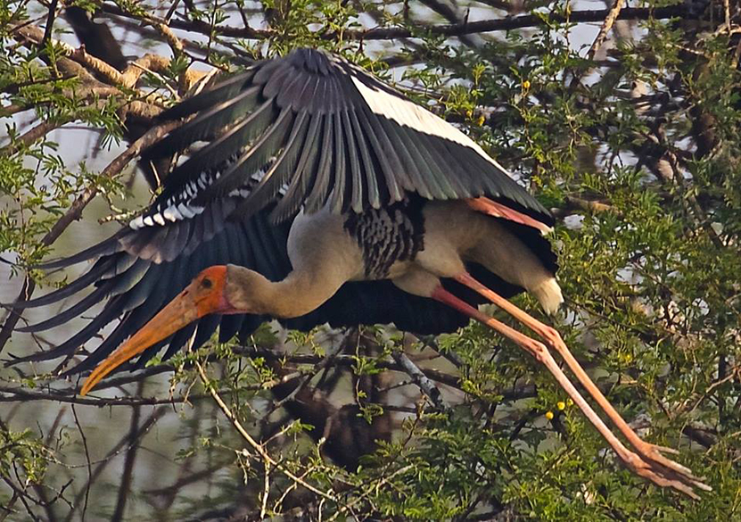 Flying mode - painted storks. In Bharatpur see Government Museum, Lohagarh Fort ruins and Deeg Palace ie 32 kms away from Bharatpur.