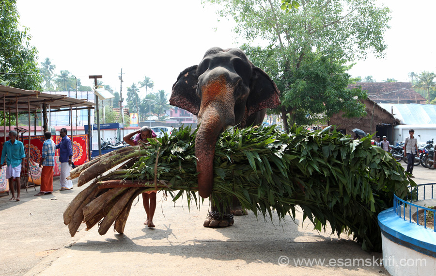 "An elephant making its way to the temple. Elephants are worshipped and loved in Kerala - was surprised and happy to see so. To read more about temple <a href=""http://www.vaikhari.org/irinjalakkuda.html"" target=""_blank"">Click here</a>"