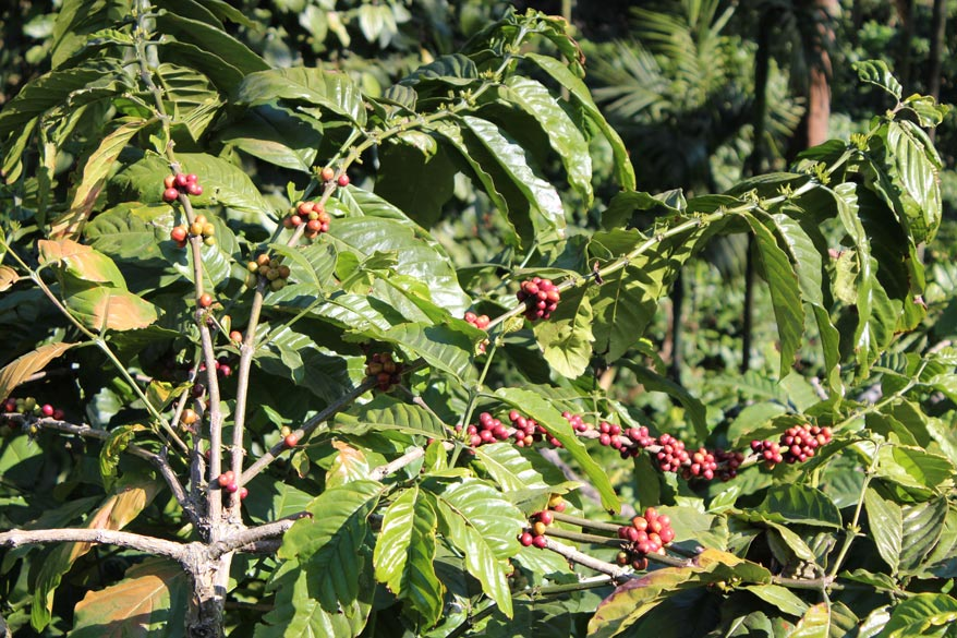 A close up view of coffee seeds.