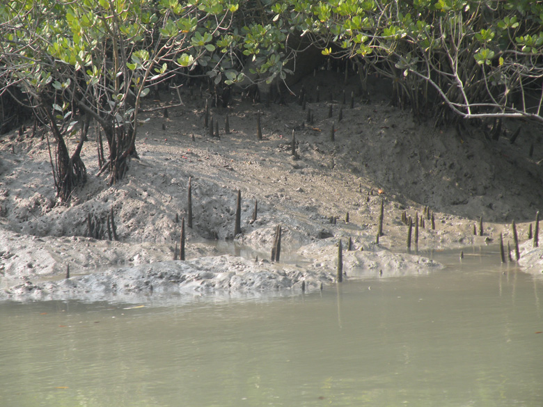 Glistening, sandy banks in the Sunderbans exposed by the low tides.