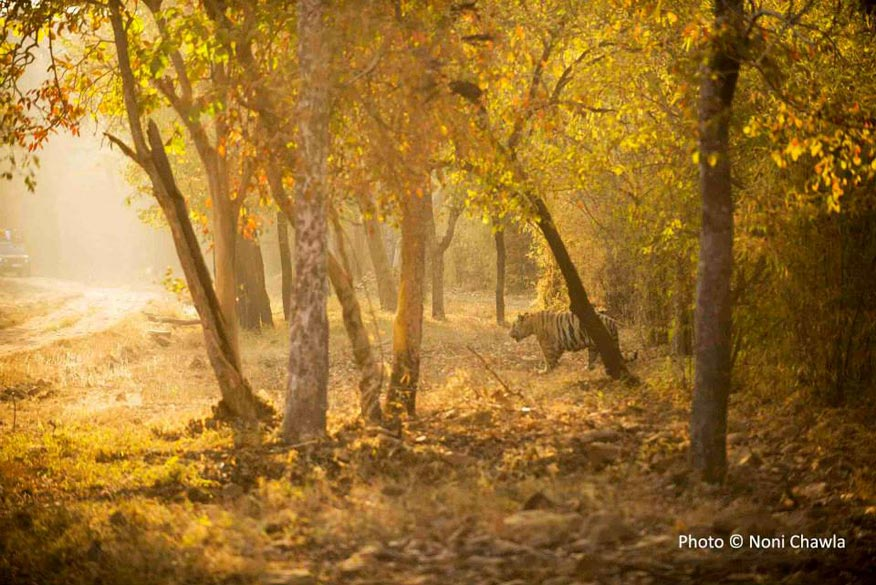 "Early morning stroll for ""Leopard Face"" in Tadoba. The Park is about 150 kms from Nagpur city and part of Chandrapur district. It is open from 15 Oct to 30 June every season. Best time to visit is February to May. Tadoba Forest is closed for Safari every Tuesday."