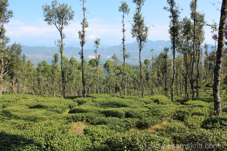 Enroute from Chakouri to Bageshwar/Kausani are the tea gardens at Vijaypur.