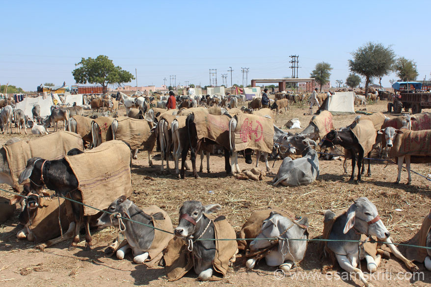 Nagaur Cattle Fair is the second largest cattle fair in India, held in January/February every year. In 2013 dates were 17-20th of Feb. I reached on the 20th.  U see cattle for sale. Since it was quite cold animals covered with gunny bag material.