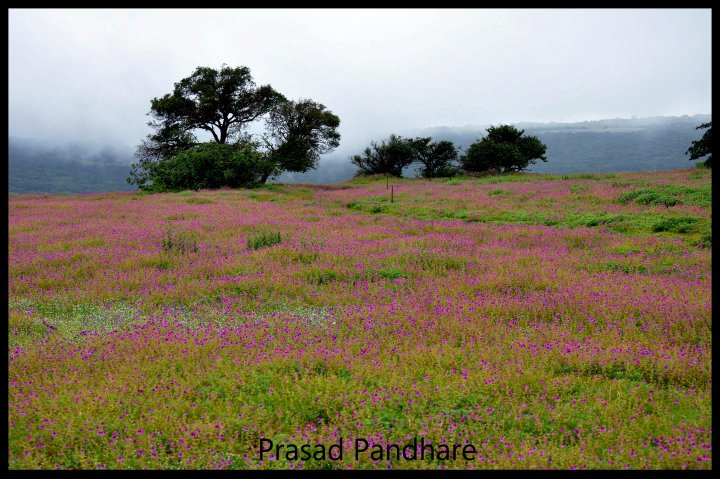 From Satara you drive uphill to reach the Kaas plateau. The Valley of Flowers in Uttranchal is high up in the hills, a valley with moutains on all sides. Another view of the Plateau.