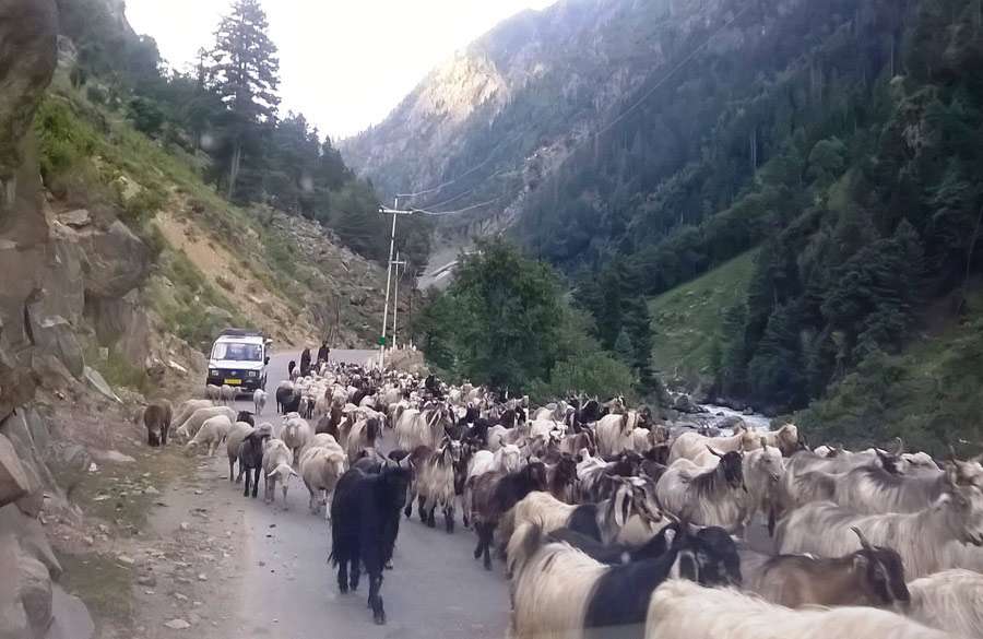 Nomadic Gujjars. A common sight to see the gujjars making their way down with their sheep for the winter months. Our car slowed and stopped for them many times.